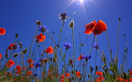 field-of-poppies-807871_960_720